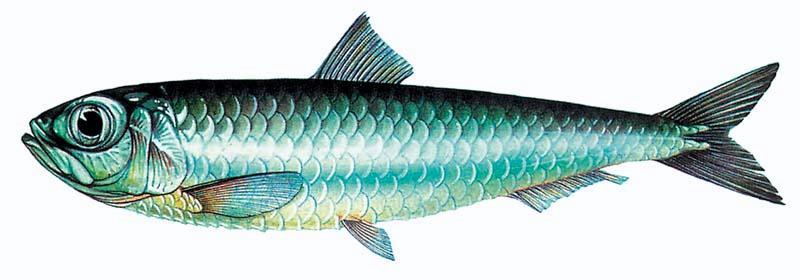Srdela (Sardina pilchardus) Golema%20srdela